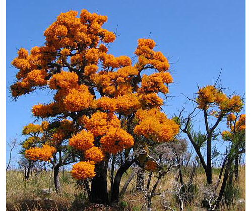 d 13 AT_tree_nuytsia
